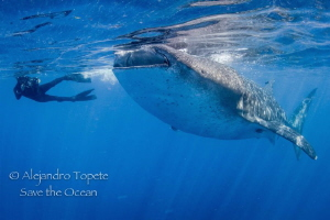 Whale Shark and Diver, Isla Contoy México by Alejandro Topete