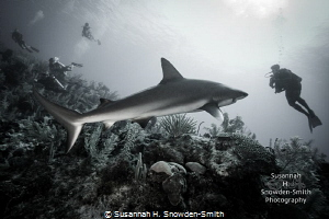 """Interaction"" - Caribbean reef shark and diver by Susannah H. Snowden-Smith"