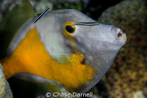 """""""Next in Line"""" This Filefish must have been enjoying his... by Chase Darnell"""