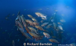 Twin Spot Snapper Spawning. Around a few days leading up ... by Richard Barnden