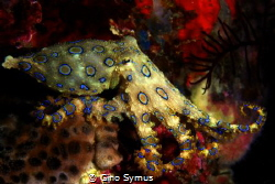 Blue ringed octopus by Gino Symus