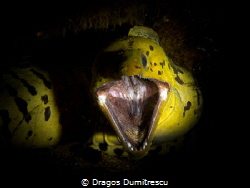 """Fimbriated Moray shouting:""""Back off!"""" . Canon G12, Inon S... by Dragos Dumitrescu"""