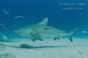 Bull Shark and remora, Playa del Carmen Mexico by Alejandro Topete