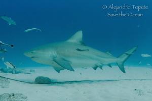 Bull Shark and remora, Playa del Carmen Mexico by Alejandro Topete