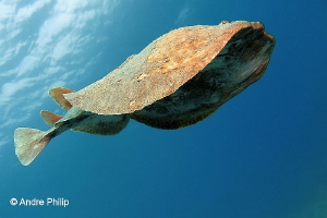 """""""Spaceship Enterprise?"""" - The Variable Electric Ray (Torp... by Andre Philip"""