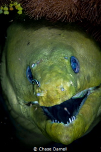 """""""Clean Green"""" A Green Moray gets a little cleaning sessi... by Chase Darnell"""