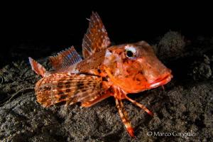 Red Mediterranean Gurnard, night dive by Marco Gargiulo
