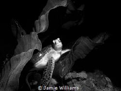 Nestled in Comfort Sea turtle resting between two elepha... by Jamie Williams