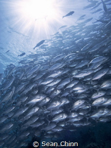 Schoolbathing. The resident jackfish in Sipadan catching ... by Sean Chinn