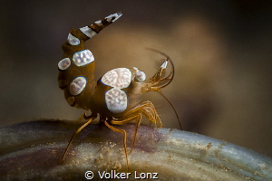 Squat Shrimp by Volker Lonz