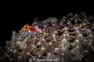 """""""Fin Up"""" A large Triple Fin Blenny sitting on a sponge w... by Chase Darnell"""