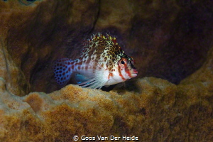 Hawkfish by Goos Van Der Heide