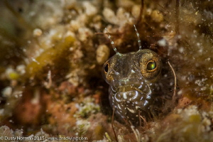 """""""Say Ahh"""" A colorful Blenny close up. by Dusty Norman"""