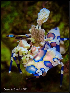 Harlequin shrimp. by Sergey Lisitsyn