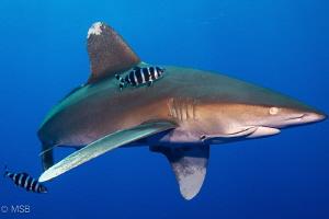 Oceanic white tip shark at Elphinstone, Marsa Alam. by Mehmet Salih Bilal