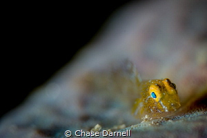 """""""Goldy"""" This golden fish was so small. It is sitting on ... by Chase Darnell"""