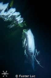 Whale shark under the surface by night. by Fuster Luc