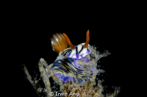 E A T I N G Nudibranch (Hypselodoris zephyra) Anilao, P... by Irwin Ang