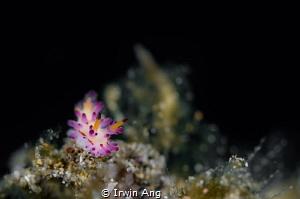 K I T T Y Nudibranch (Aegires villosus) Anilao, Philipp... by Irwin Ang