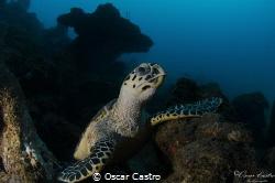hawksbill turtle, Veracruz Mexico by Oscar Castro