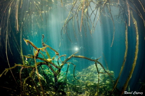 Under the mangrove by Raoul Caprez