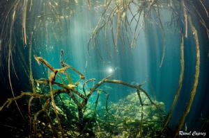 Under the mangrove by Raoul Caprez
