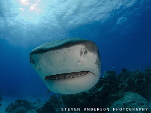 Nothing like a closeup with a Tiger Shark. This image was... by Steven Anderson