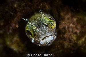 """""""Crazy Eyes"""" Close up of a Blenny. Achieved with Subsea ... by Chase Darnell"""