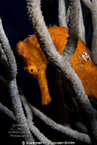 The seahorses of Roatan are stunning! 
