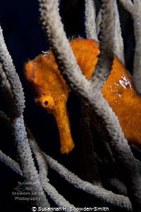 The seahorses of Roatan are stunning!  Bright orange sea... by Susannah H. Snowden-Smith