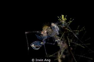 D I N N E R  Skeleton shrimp (Caprellidae) Anilao, Phil... by Irwin Ang