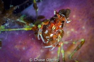 """""""Hairy Face"""" A portrait of a Neck Crab sitting on a purp... by Chase Darnell"""