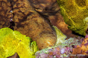 Frog fish romance, hopefully the start of a new generation! by Elaine Wallace