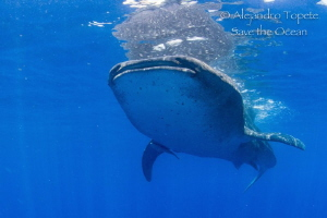Whale Shark in Blue, Isla Contoy México by Alejandro Topete