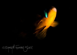 The belly of the beast.. Clark's anemone fish protecting ... by Adrian Slack