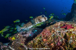 When You Wish Upon A Starfish A porcupine fish approache... by Tanya Houppermans