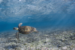 """""""Playground"""" A Green Sea Turtle swims around in the shal... by Chase Darnell"""