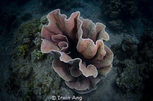 G O O D - N I G H T Coral @ APH house reef Anilao, Phil... by Irwin Ang