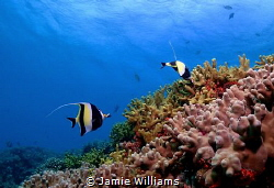 Moorish idols by Jamie Williams