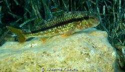 Striped Red Mullet resting on the rock by Aksems Kuzucu