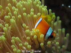 Anemonefish swimming by Bai Xiaolei