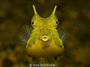 Golden Cowfish by Uwe Schmolke