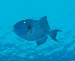 Triggerfish taken at Straits of Tiran, Sinai with Olympus... by Nikki Van Veelen
