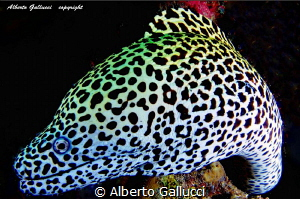 Portrait of leopard moray by Alberto Gallucci