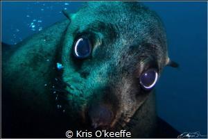 Australian Fur Seal , Martin Island , NSW.  Taken 5-10-2015 by Kris O'keeffe