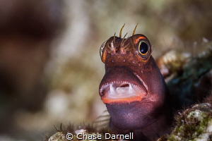 """""""Open Wide"""" A Red Lip Blenny standing his ground on the ... by Chase Darnell"""