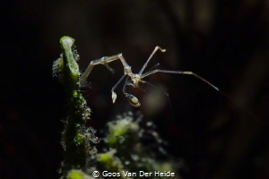 Skeleton Shrimp by Goos Van Der Heide