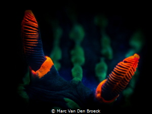 Red horns by Marc Van Den Broeck
