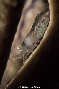 A female glass shrimp with eggs. Mum-to-be by Adeline Wee