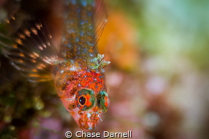 """""""Rave"""" A very colorful Triple Fin Blenny portrait. These... by Chase Darnell"""